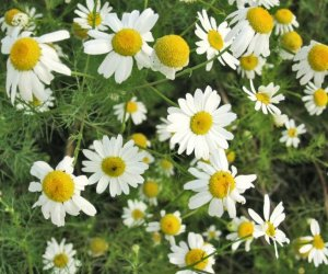 Chamomile 5% dil essential oil