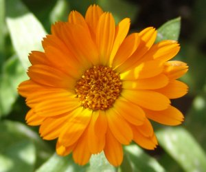 Marigold flower cream