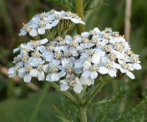 Yarrow flower fluid extract