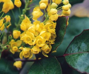 Oregon Grape root fluid extract